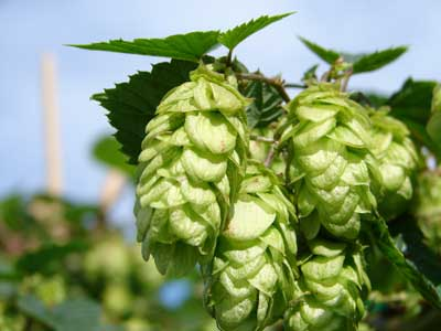 how to start growing hops